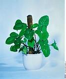Arrowhead Plant, Syngonium podophyllum