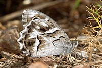 Striped Grayling butterfly (Pseudotergumia fidia)