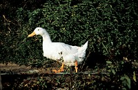 A White Goose Outdoors