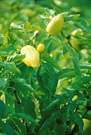 Yellow peppers on the plant
