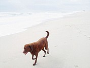 Chesapeake Bay Retreiver walking on the beach in New Jersey. USA