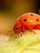 Ladybird beetle (Epilachna crysomelina)