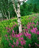 Fireweed (Epilobium angustifolium) and Birches. Norway