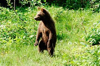 Brown bear cub (Ursus arctos), about 4 month old. Captive, National Park Bavarian Forest, Bavaria, Germany
