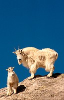 Mountain Goat (Oreamnos americanus). Idaho. USA