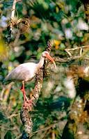 White Ibis (Eusocimus albus)