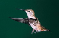 Rufous Humming bird. Female