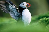 Atlantic Puffin (Fratercula arctica). UK