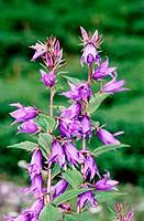 Himalayan Flowers: Campanula lafiolia