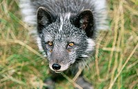 Artic Fox (Alopex lagopus)