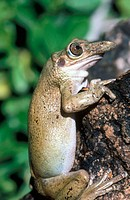 Casque Headed Treefrog (Triprion spatulatus)