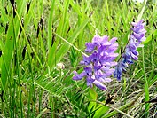 Tufted Vetch (Vicia cracca) in a mesic calcareous meadow