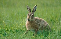 Brown or European Hare (Lepus europaeus), spring, England