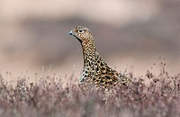 Red Grouse (Lagopus Scoticus)