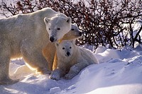 Polar bear cub sow and twin cubs (Ursus maritimus)