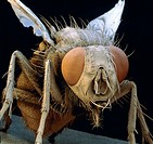 ´Housefly.  Coloured scanning  electron  micrograph (SEM) of a common housefly (Musca domestica).  The head (centre right) is  dominated  by  a  pair ...