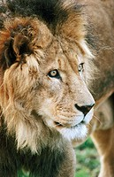 Lion male (Panthera leo)
