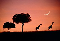 ´Giraffes at dawn.   View  of  two  Masai  giraffes (Giraffa camelopardalis tippelskirchi) silhouetted against the sky at dawn.  A crescent  Moon  is ...