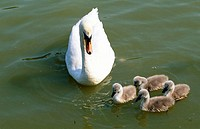 Mother swan and newborn children in pond at Hyde Park. London. England