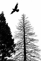Silhouette of crow flying above two trees, one with leaves and one bare