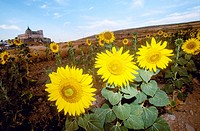Sunflowers. Ucles monastery. Cuenca. Castilla La Mancha. Spain
