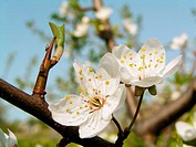 Blooming apple-tree