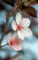 Cherry Plum (Prunus cerasifera) flowers