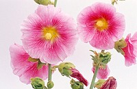 Hollyhock (Althaea rosea)