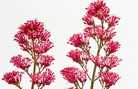 Jupiter's Beard (Centranthus ruber)