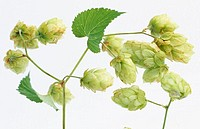 Hops (Humulus lupulus)