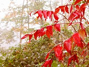 Red autumn leaves in morning fog. Appalachian foothills, Southeast Ohio. USA