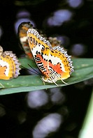 Butterfly (Cethosia biblis). Southeast Asia
