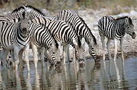 Zebras (Equus quagga boehmi) drinking at waterhole. Etosha National Park. Namibia