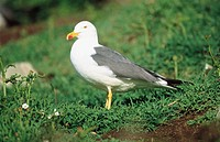 Lesser Black Backed Gull (Larus fuscus). Wales, UK