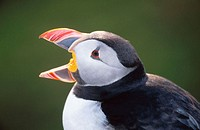 Atlantic Puffin (Fratercula arctica). Skomer Island. Wales, UK
