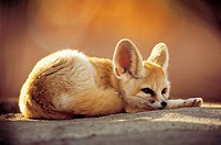 Fennec fox (Vulpes zerda, formerly Fennecus zerda) in northern Africa. Fennecs are small nocturnal foxes that have fawn-colored fur and large pointed ...