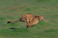 Cheetah (Acinonyx jubatus). This cat is from the wide-open plains, open woodlands and brushlands of Africa. The fastest can reach speeds in excess of ...