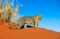Leopard (Panthera pardus). Dunes of the Namib Desert
