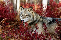 Gray wolf (Canis lupus) peering from blueberry bushes in fall, captive. Northern Minnesota, USA