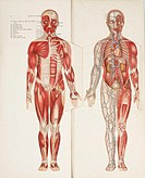 Two folding paper illustrations showing the musculature and the heart, kidneys and circulatory system, from 'Philips' Popular Manikin' edited by W S F...