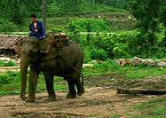 Man on elephant pulling log