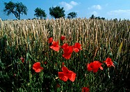 France, Provence, poppies growing in crop field, close-up (thumbnail)
