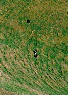 New Zealand, cows in a grassy field, aerial view