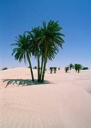 Tunisia, The Sahara Desert, palm trees growing in sand dunes