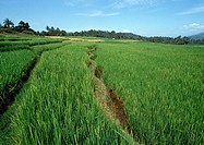Indonesia, Sumatra, rice fields