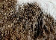 Cat fur, extreme close-up
