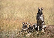 Africa, Tanzania, cheetahs in Savannah