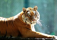 India, tiger lying down (thumbnail)