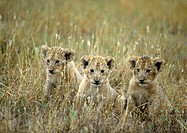 Africa, Tanzania, lion cubs