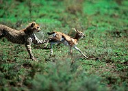 Africa, Tanzania, cheetah pursuing baby gazelle